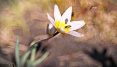 May the Force Be(e) with You 🐝 (d heinz) Tags: trioplan100 hugomeyergörlitz bee biene tulpe tulip bokeh macro pano jedi princessleia chewbacca