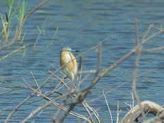 Squacco heron (Hatsofe B) Tags: squaccoheron wildlife manualfocus rawtherapee