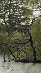 Stark Dead Contrast (peter.tully64) Tags: stark dead tree water swamp contrast