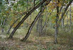 Nature's tuning fork (Modesto Vega) Tags: nikon nikond600 d600 fullframe autumn tree bendedtree leaves leaffall lagranjadesanildefonso nature landscape forest