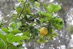 Лимон (unicorn7unicorn) Tags: лимон wah colorfulnature 365the2019edition 3652019 day126365 06may19
