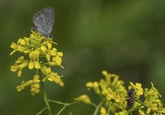 Azure & Bee on Mustard Flowers (Odonata457) Tags: spring azure celastrinaladon halictid bee lasioglossumcoriaceum mustard flowers catoctinmountains frederickcounty maryland