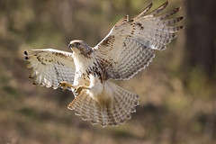 Redtail Hawk (D.Leslie) Tags: hfg hamilton ontario outdoors canon canada nature naturallight redtail spring