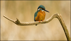 Kingfisher (Craig 2112) Tags: kingfisher alcedoatthis male wild bird lincolnshire