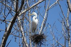 Great Egret (alex_7719) Tags: bird animal trees egret greategret toronto ontario canada ardeaalba nature tommythompsonpark lesliespit цапля большаябелаяцапля птица торонто онтарио канада деревья гнездо nest