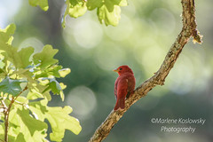 125/365 Summer on a Branch (Maggggie) Tags: summertanager bird tree branch 365 365the2019edition 3652019 red green summer bokeh