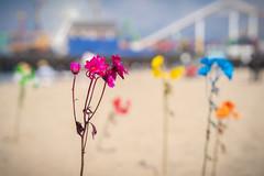 DSC09234 (KayOne73) Tags: samyang rokinon 85mm f 14 prime lens af sony a7iii santa monica ca beach pier
