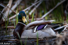 Mallard duck (rkohar) Tags: mallard duck nature kingston ontario canada lemoine point canon 6d sigma 150600 flash