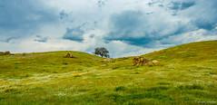 Oak in Spring (dennisjohnston17) Tags: wildflowers spring oak california woody kerncounty clouds storm boulders fiddleneck popcorn