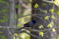 ashleyreservoir2019-50 (gtxjimmy) Tags: nikond7500 nikon d7500 tamron 150600mm ashleyreservoir holyoke massachusetts spring newengland bird blackbird grackle