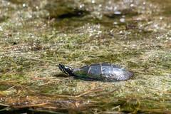 ashleyreservoir2019-48 (gtxjimmy) Tags: nikond7500 nikon d7500 tamron 150600mm ashleyreservoir holyoke massachusetts spring newengland turtle paintedturtle