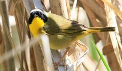 common yellowthroat male at Cardinal Marsh IA 653A6405 (naturalist@winneshiekwild.com) Tags: common yellowthroat male cardinal marsh winneshiek county iowa larry reis