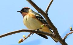 bay-breasted warbler male at Cardinal Marsh IA 653A6501 (naturalist@winneshiekwild.com) Tags: baybreasted warbler male cardinal marsh winneshiek county iowa larry reis