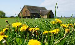 Rural Dandelions (sea turtle) Tags: barn dandelion dandelions yellow bokeh grass green field