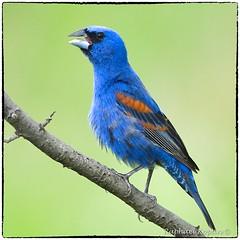 Blue Grosbeak (RKop) Tags: armlederpark raphaelkopanphotography ohio cincinnati 600mmf4evr tripod nikon