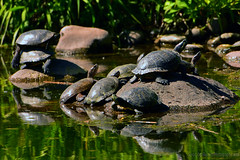 Turtles_03 (DonBantumPhotography.com) Tags: wildlife nature reptiles turtles donbantumphotographycom donbantumcom