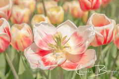 Tulpen (Chantal van Breugel) Tags: bloemen tulpen bollenveld bloembollen noordholland tzand holland april 2019 canon5dmark111 canon24105