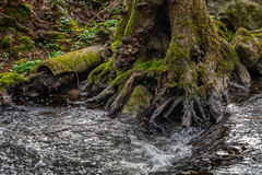 at the creeks bank - Am Bachufer (ralfkai41) Tags: creek moos roots baum tree river wurzeln wasser water nature outdoor moss bach natur flus