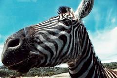 Zebra. (iv.morrison) Tags: zebra cebra white black blancoynegro safari park madrid españa spain africa wild horse animal photoanimal