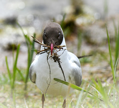 Black headed gull at Marquenterre (robmcrorie) Tags: black headed gull marquenterre baie somme bay france north nord bout crocs wildlife nature reserve birds birding park parc nest nesting nikon d850