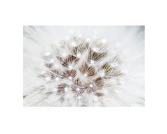 En el corazón de Urospermum picroides. (EFD-fotolab) Tags: efdfotolab nature naturaleza nikkor105mm nikond610 macrofotografia macro españa primavera2019 flores blanco flowers urospermumpicroides floressilvestres