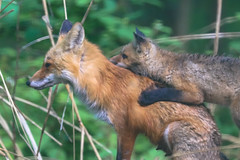 PUPPY HUG (curious_spider) Tags: fox redfox foxes foxkit foxpup foxcub puppy babyfox vulpine