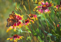 Spring Butterflies2 (hightoneguy) Tags: butterflies spring flowers texashillcountry texas landscapes indianblanket