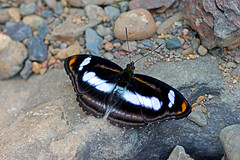 Athyma cama - the Orange Staff Sergeant (male) (BugsAlive) Tags: butterfly mariposa papillon farfalla 蝴蝶 dagvlinder 自然 schmetterling бабочка conbướm ผีเสื้อ animal outdoor insects insect lepidoptera macro nature nymphalidae athymacama orangestaffsergeant limenitidinae wildlife chiangmai ผีเสื้อในประเทศไทย liveinsects thailand thailandbutterflies nikon105mm bugsalive ผีเสื้อจ่าคาม่าจุดส้ม chiangdaons เชียงดาว