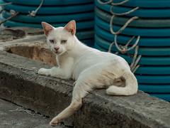 (zwierzory) Tags: borneo maleysia malaysia sea cat kot sandakan sabah