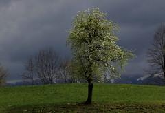 Assòlo (lincerosso) Tags: alberi trees piante pero pyrusdomestica fioritura primavera spring luce nuvole bellezza armonia assòlo