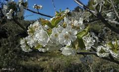 Como cada año (pedroramfra91) Tags: exteriores outdoors jardín garden flores flowers primavera spring