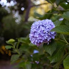 Hortensias... (Irene Carbonell) Tags: hortensias flores flowers nature naturaleza