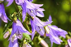 Fleurs ( photopade (Nikonist)) Tags: nikon nikond70 affinityphoto 70300d1456apomacrosigma fleurs flowers nature mac macro imac dxoopticsprostandard
