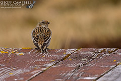 Female Snow Bunting (Plectrophenax nivalis) (gcampbellphoto) Tags: snow bunting plectrophenax nivalis bird nature wildlife gcampbellphoto cairngorms scotland spring mountains
