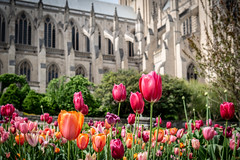 Washington National Cathedral (Phil Roeder) Tags: washingtondc nationalcathedral cathedral church leica leicax2 tulips flowers