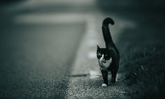 Cat's out (robert.lindholm87) Tags: canon mirrorless animal cat cats 200mm telephoto dof bokeh sweden pet pets bw bnw blackandwhite road