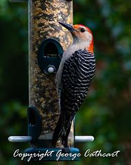 red-bellied woody (fins'n'feathers) Tags: woodpecker backyard feeder redbelliedwoodpecker bird wildlife perched feeding eating