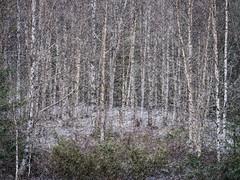 May snow (Fjällkantsbon) Tags: doroteakommun sverige träd lövträd björkar växter lappland högland snö evamårtensson västerbottenslän majsnö snöby vår snowshower