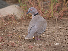 Mourning Collared Dove Streptopelia decipiens perspicillata (nik.borrow) Tags: bird dove ndutu