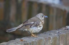 _B5A4908REWS Slight Pause, © Jon Perry, 7-5-19 zbq (Jon Perry - Enlightenshade) Tags: mistlethrush bird berry acontgreen enlightenshade arranginglightcom jonperry 7519 20190507