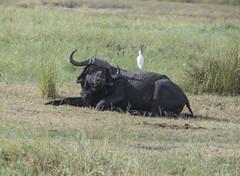 DSC_2622_1 (Marshen) Tags: botswana capebuffalo cattleegret