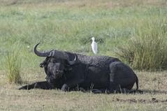 DSC_2629_2 (Marshen) Tags: botswana capebuffalo cattleegret