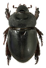 Dynastinae sp. (dries.marais) Tags: coleoptera scarabaeidae dynastinae