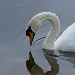 Mute swan - Cygnos olor (Svein K. Bertheussen) Tags: knoppsvane svane muteswan cygnusolor gisketjern sandnes rogaland norway norge nature natur refleksjon reflections fugl bird