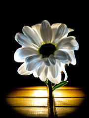 Daisy. (CWhatPhotos) Tags: cwhatphotos photographs photograph pics pictures pic picture image images foto fotos photography that have which with contain flickr flower closeup macro nature color colors colour pink queen olympus omd em1 60mm mzuiko prime lens daisey daisy shadows light artistic