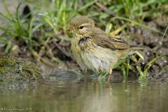 Au bain! (DorianHunt) Tags: chiffchaff birds switzerland may 2019 nikond500 sigma 150600mm