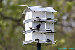 Easter Sunday Visions, No 3...The Purple Martin at the House (Walt Snyder) Tags: canoneos5dmkiii canonef100400mmf4556lisiiusm easter catholic eastersunday purplemartin purplemartinhouse bird birdhouse