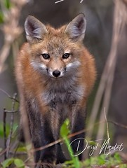 The look (daryl nicolet) Tags: fox foxy wild wildthings wildlife nature redfox red closeup daryl nicolet canon sigma 5dm3 canon5dm3 coth5 outside orange