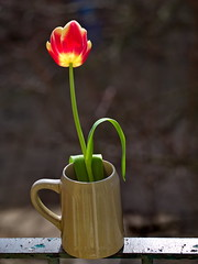 Fresh single red and yellow tulip on the balcony (ciddibirikiuc) Tags: background beautiful blurrybackground bouquet bright brown color cup design drink flower freshness garden green isolatedflower leaf morning nature plant pot spring sunny table tulip gift valentineday m43turkiye