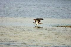 Dancing on the Sandbar (Michiale Schneider) Tags: osprey raptor water nature dingdarlingwildliferefuge sanibelisland florida michialeschneiderphotography